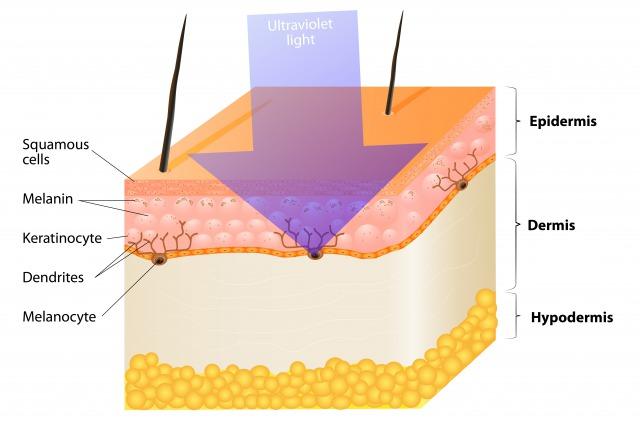 紫外線による日焼けの仕組み